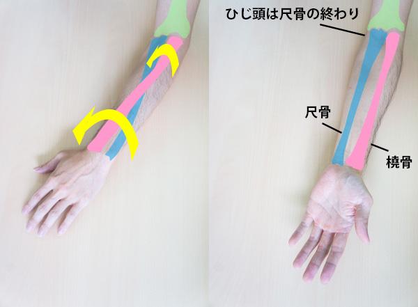 尺骨が動かずに橈骨が回転する画像