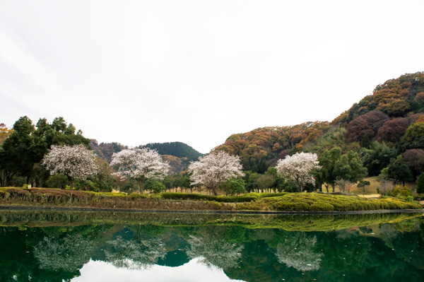 ツインレイクスカントリー倶楽部の寒桜の画像